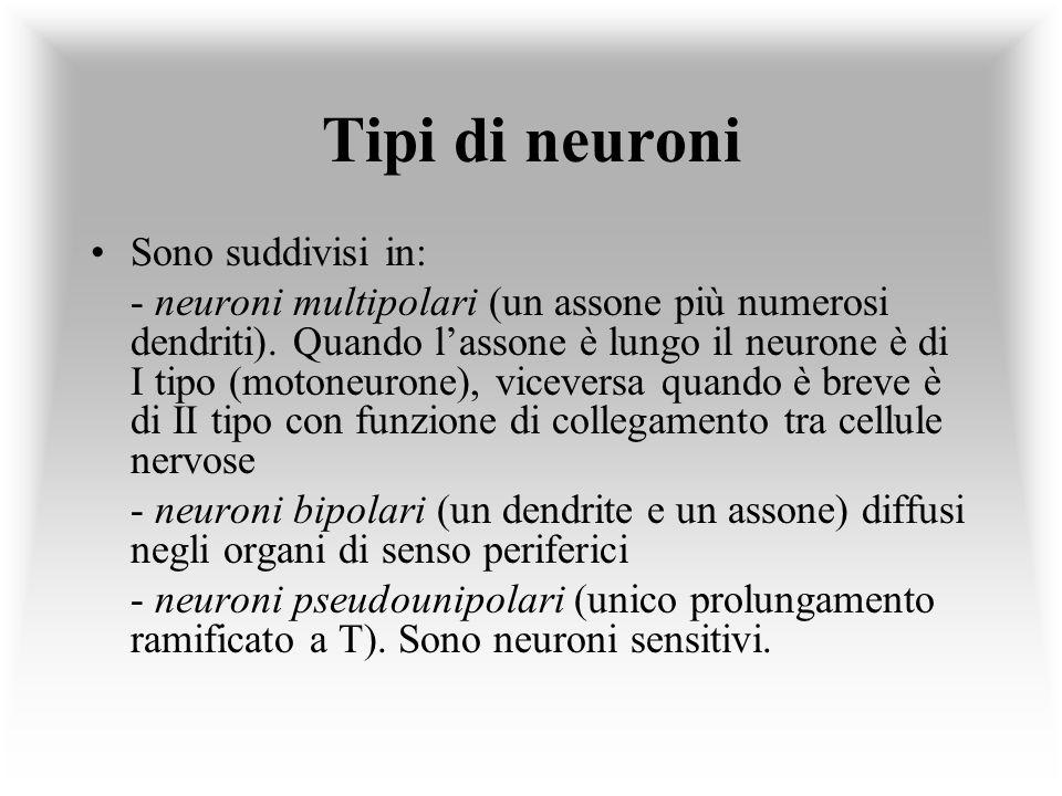 Tipi di neuroni Sono suddivisi in: - neuroni multipolari (un assone più numerosi dendriti). Quando lassone è lungo il neurone è di I tipo (motoneurone
