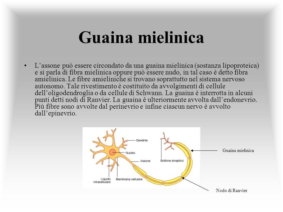Guaina mielinica Lassone può essere circondato da una guaina mielinica (sostanza lipoproteica) e si parla di fibra mielinica oppure può essere nudo, i