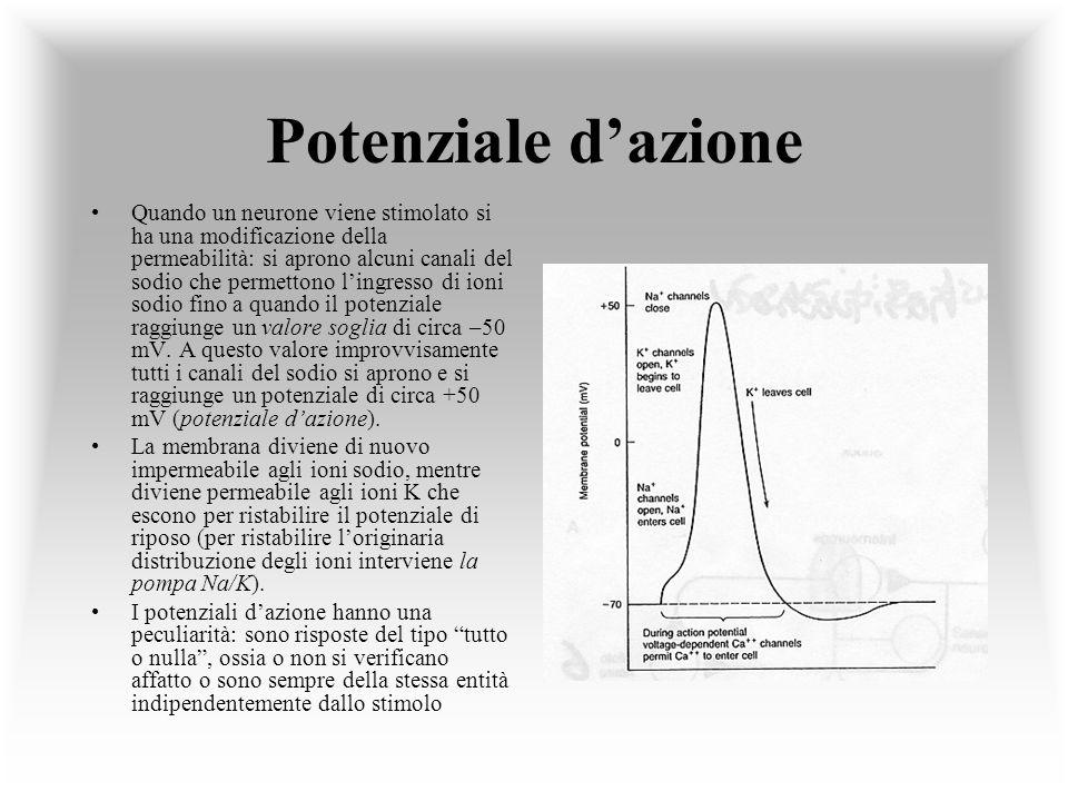 Potenziale dazione Quando un neurone viene stimolato si ha una modificazione della permeabilità: si aprono alcuni canali del sodio che permettono ling