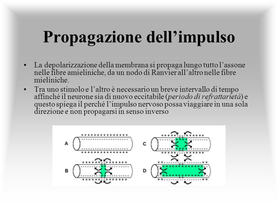 Propagazione dellimpulso La depolarizzazione della membrana si propaga lungo tutto lassone nelle fibre amieliniche, da un nodo di Ranvier allaltro nel