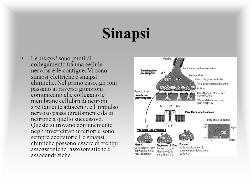 Sinapsi Le sinapsi sono punti di collegamento tra una cellula nervosa e le contigue. Vi sono sinapsi elettriche e sinapsi chimiche. Nel primo caso, gl
