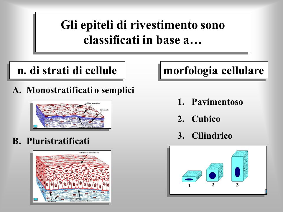 Gli epiteli di rivestimento sono classificati in base a… n. di strati di cellule 1.Pavimentoso 2.Cubico 3.Cilindrico A.Monostratificati o semplici B.P