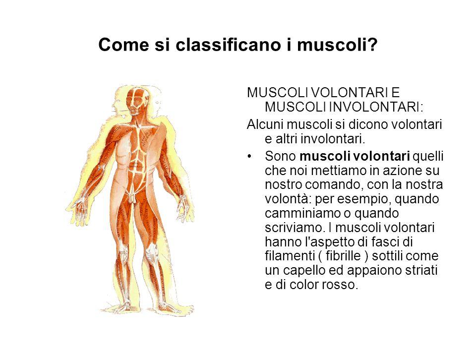 Come si classificano i muscoli? MUSCOLI VOLONTARI E MUSCOLI INVOLONTARI: Alcuni muscoli si dicono volontari e altri involontari. Sono muscoli volontar