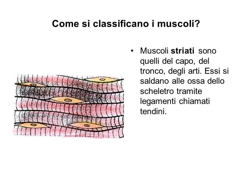 Come si classificano i muscoli? Muscoli striati sono quelli del capo, del tronco, degli arti. Essi si saldano alle ossa dello scheletro tramite legame