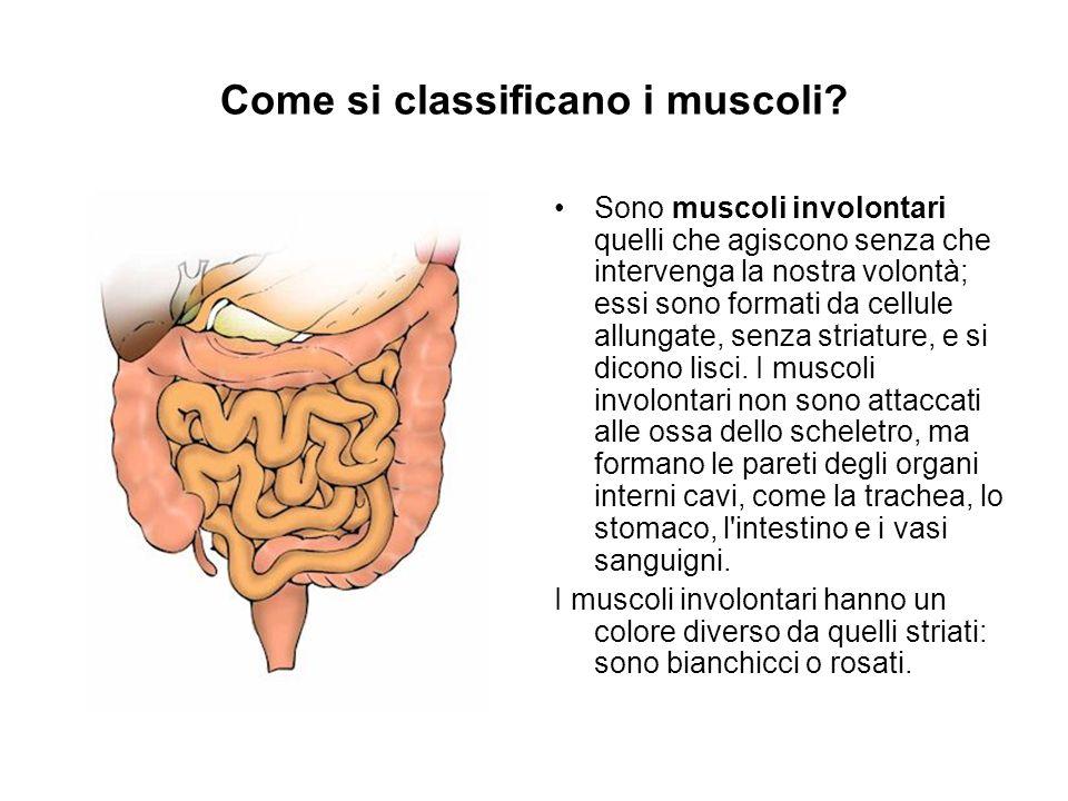 Come si classificano i muscoli? Sono muscoli involontari quelli che agiscono senza che intervenga la nostra volontà; essi sono formati da cellule allu