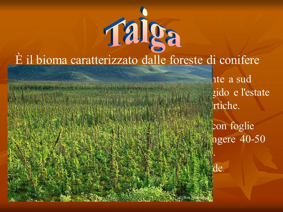 È il bioma caratterizzato dalle foreste di conifere Si tratta di una regione umida immediatamente a sud della regione polare dove il clima è meno rigi