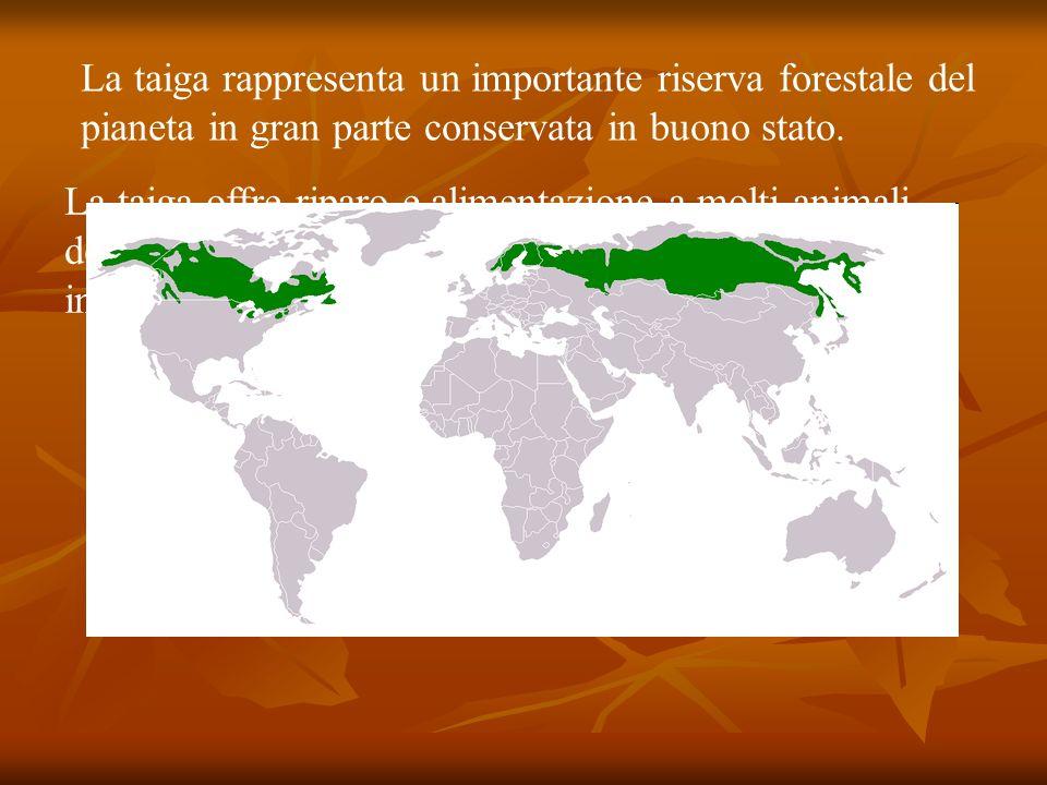 La taiga rappresenta un importante riserva forestale del pianeta in gran parte conservata in buono stato. La taiga offre riparo e alimentazione a molt