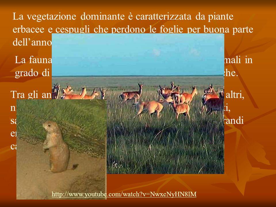 La vegetazione dominante è caratterizzata da piante erbacee e cespugli che perdono le foglie per buona parte dellanno La fauna della steppa include pr