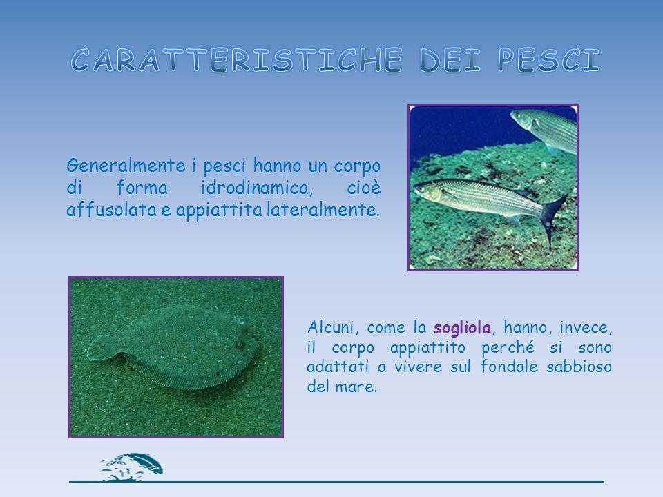 Generalmente i pesci hanno un corpo di forma idrodinamica, cioè affusolata e appiattita lateralmente. Alcuni, come la sogliola, hanno, invece, il corp