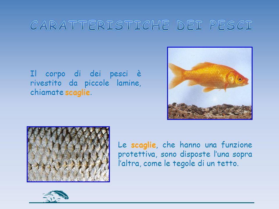 Il corpo di dei pesci è rivestito da piccole lamine, chiamate scaglie. Le scaglie, che hanno una funzione protettiva, sono disposte luna sopra laltra,
