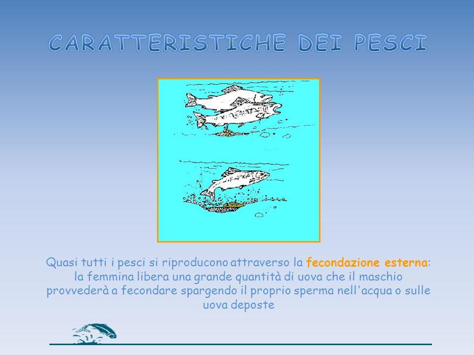 Quasi tutti i pesci si riproducono attraverso la fecondazione esterna: la femmina libera una grande quantità di uova che il maschio provvederà a fecon