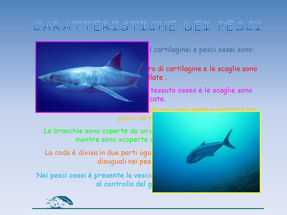 Le principali differenze tra pesci cartilaginei e pesci ossei sono: I pesci cartilaginei hanno scheletro di cartilagine e le scaglie sono dentellate.