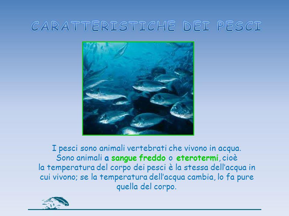 I pesci sono animali vertebrati che vivono in acqua. Sono animali a sangue freddo o eterotermi, cioè la temperatura del corpo dei pesci è la stessa de