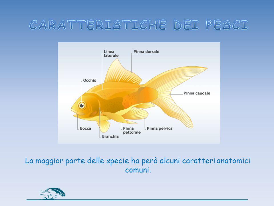 Le pinne, che servono ai pesci per muoversi, per orientarsi e mantenere lequilibrio.