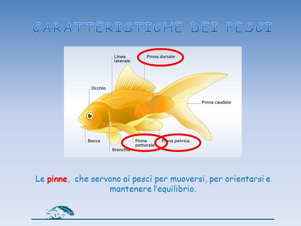 La pinna caudale, serve da timone; i pesci la spostano da un lato all altro per muoversi nellacqua.