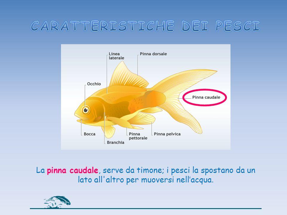 La pinna caudale, serve da timone; i pesci la spostano da un lato all'altro per muoversi nellacqua.