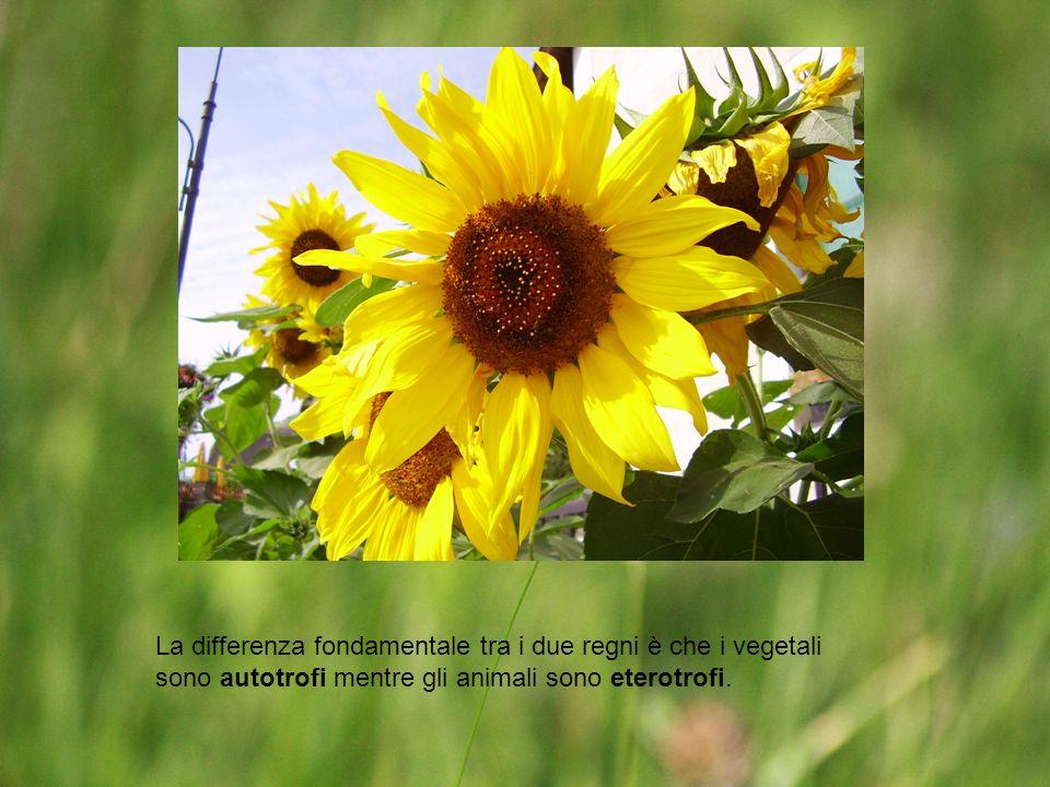 La differenza fondamentale tra i due regni è che i vegetali sono autotrofi mentre gli animali sono eterotrofi.