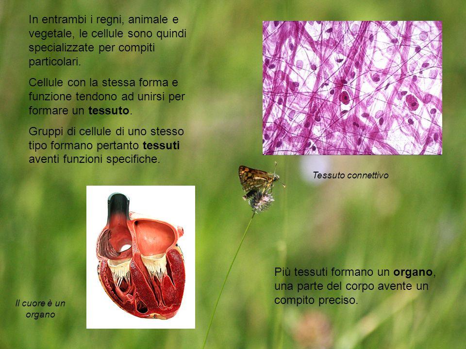 In entrambi i regni, animale e vegetale, le cellule sono quindi specializzate per compiti particolari. Cellule con la stessa forma e funzione tendono