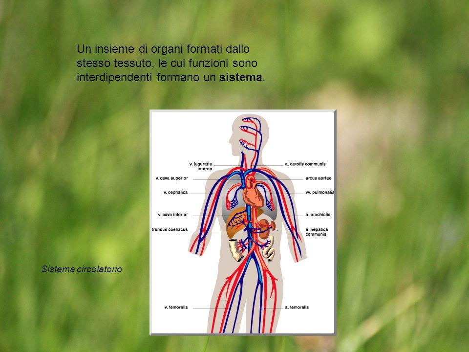 Un insieme di organi formati dallo stesso tessuto, le cui funzioni sono interdipendenti formano un sistema. Sistema circolatorio