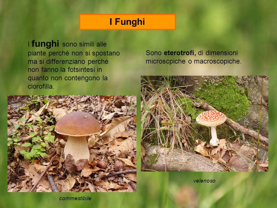 I funghi sono simili alle piante perché non si spostano ma si differenziano perché non fanno la fotsintesi in quanto non contengono la clorofilla. Son