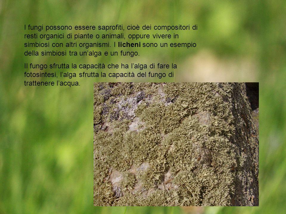 I fungi possono essere saprofiti, cioè dei compositori di resti organici di piante o animali, oppure vivere in simbiosi con altri organismi. I licheni