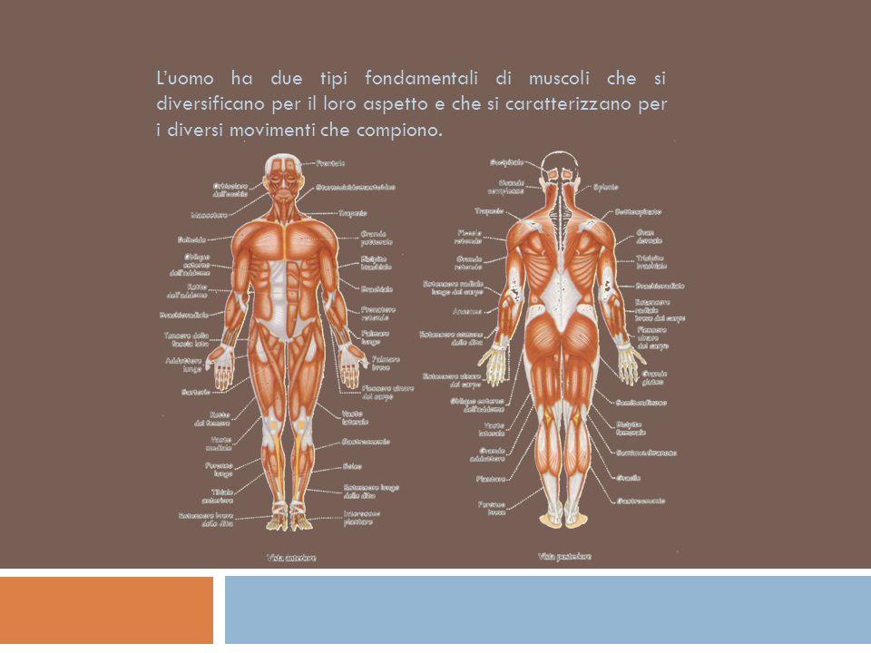 Luomo ha due tipi fondamentali di muscoli che si diversificano per il loro aspetto e che si caratterizzano per i diversi movimenti che compiono.