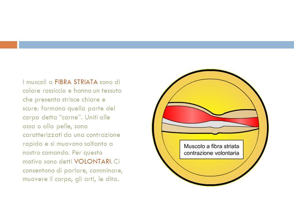 I muscoli a FIBRA STRIATA sono di colore rossiccio e hanno un tessuto che presenta strisce chiare e scure: formano quella parte del corpo detta carne.