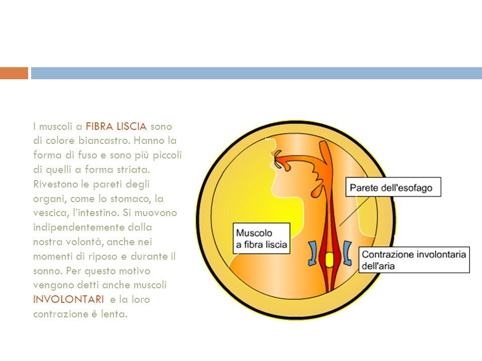 I muscoli a FIBRA LISCIA sono di colore biancastro.