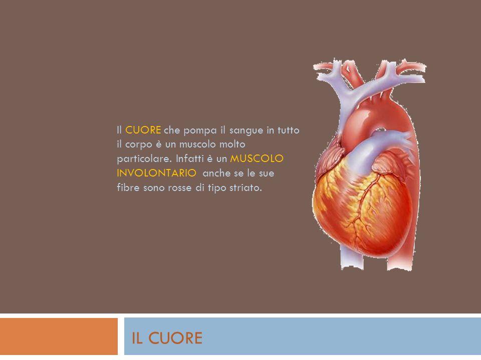 Il CUORE che pompa il sangue in tutto il corpo è un muscolo molto particolare.