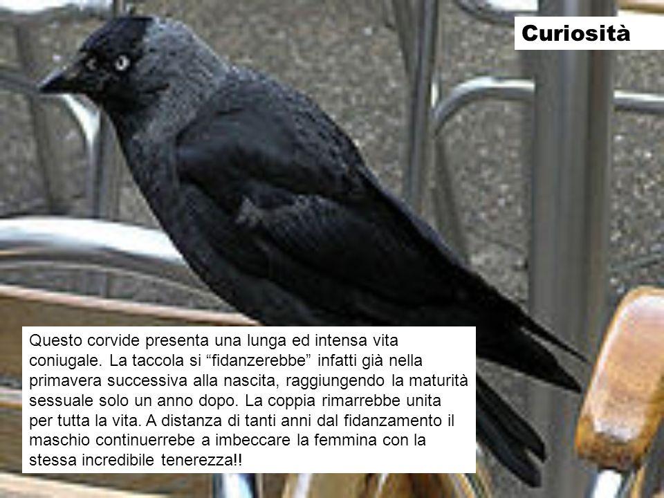 Curiosità Questo corvide presenta una lunga ed intensa vita coniugale. La taccola si fidanzerebbe infatti già nella primavera successiva alla nascita,