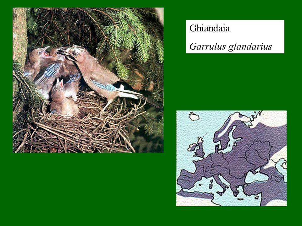 Ghiandaia Garrulus glandarius