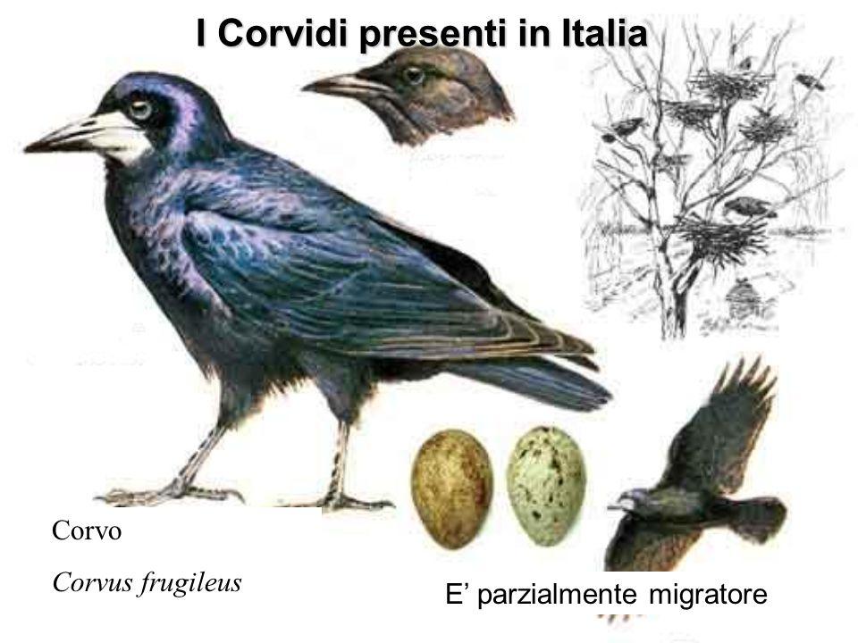 I Corvidi presenti in Italia Corvo Corvus frugileus E parzialmente migratore