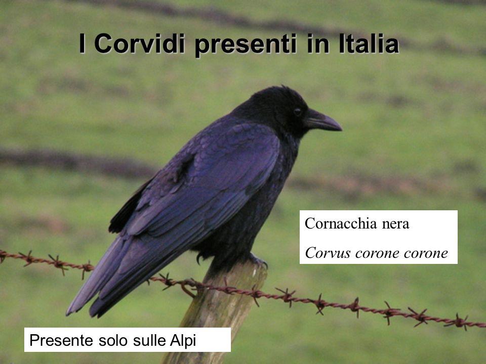 I Corvidi presenti in Italia Cornacchia nera Corvus corone corone Presente solo sulle Alpi