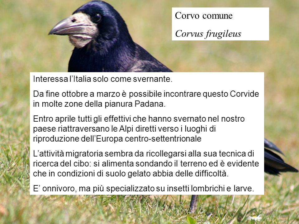 Corvo comune Corvus frugileus Interessa lItalia solo come svernante. Da fine ottobre a marzo è possibile incontrare questo Corvide in molte zone della