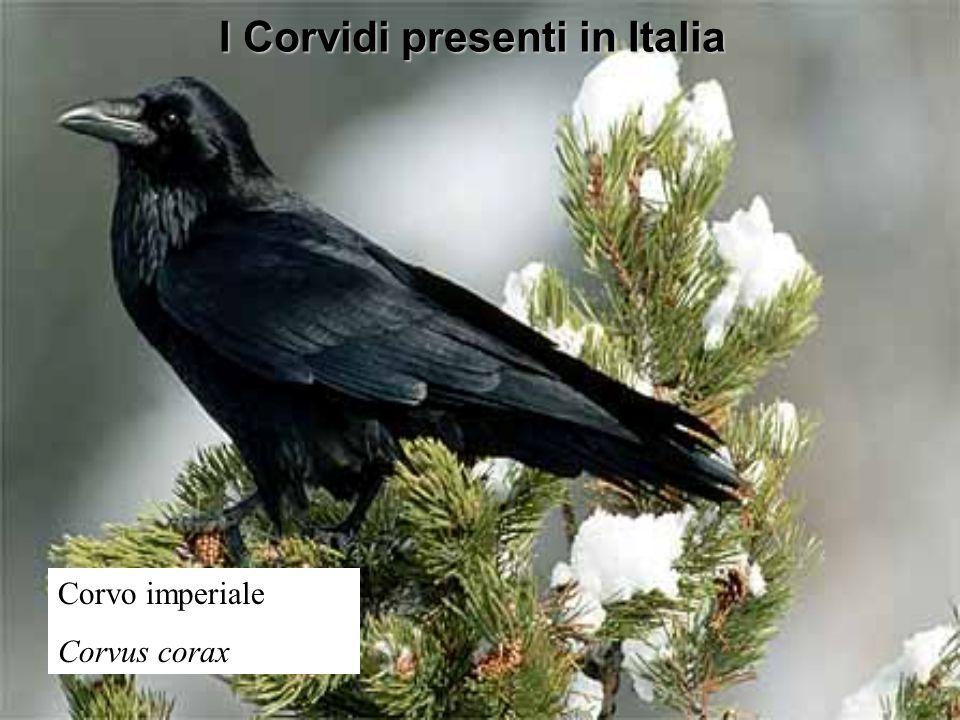 I Corvidi presenti in Italia Corvo imperiale Corvus corax