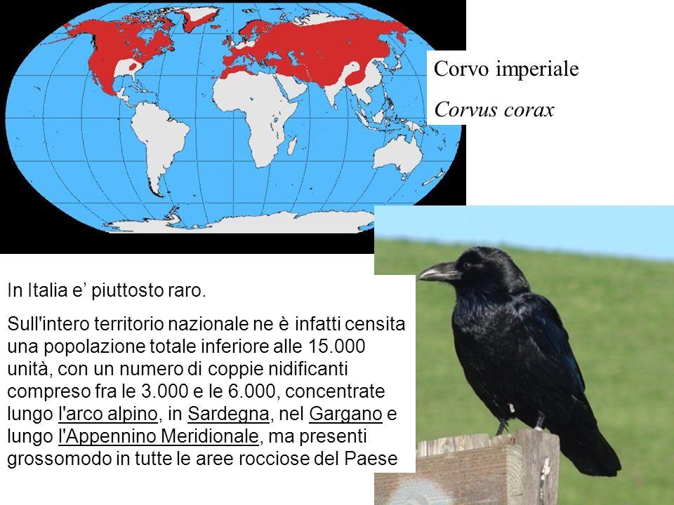 Corvo imperiale Corvus corax In Italia e piuttosto raro. Sull'intero territorio nazionale ne è infatti censita una popolazione totale inferiore alle 1