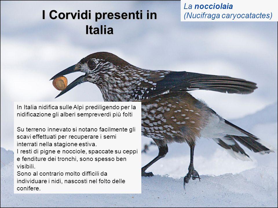 I Corvidi presenti in Italia La nocciolaia (Nucifraga caryocatactes) In Italia nidifica sulle Alpi prediligendo per la nidificazione gli alberi sempre