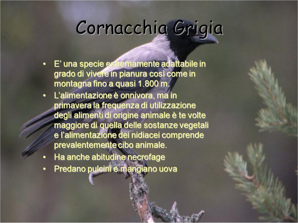 Cornacchia Grigia E una specie estremamente adattabile in grado di vivere in pianura così come in montagna fino a quasi 1.800 m.E una specie estremame