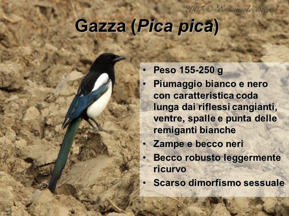 Gazza (Pica pica) Peso 155-250 gPeso 155-250 g Piumaggio bianco e nero con caratteristica coda lunga dai riflessi cangianti, ventre, spalle e punta de