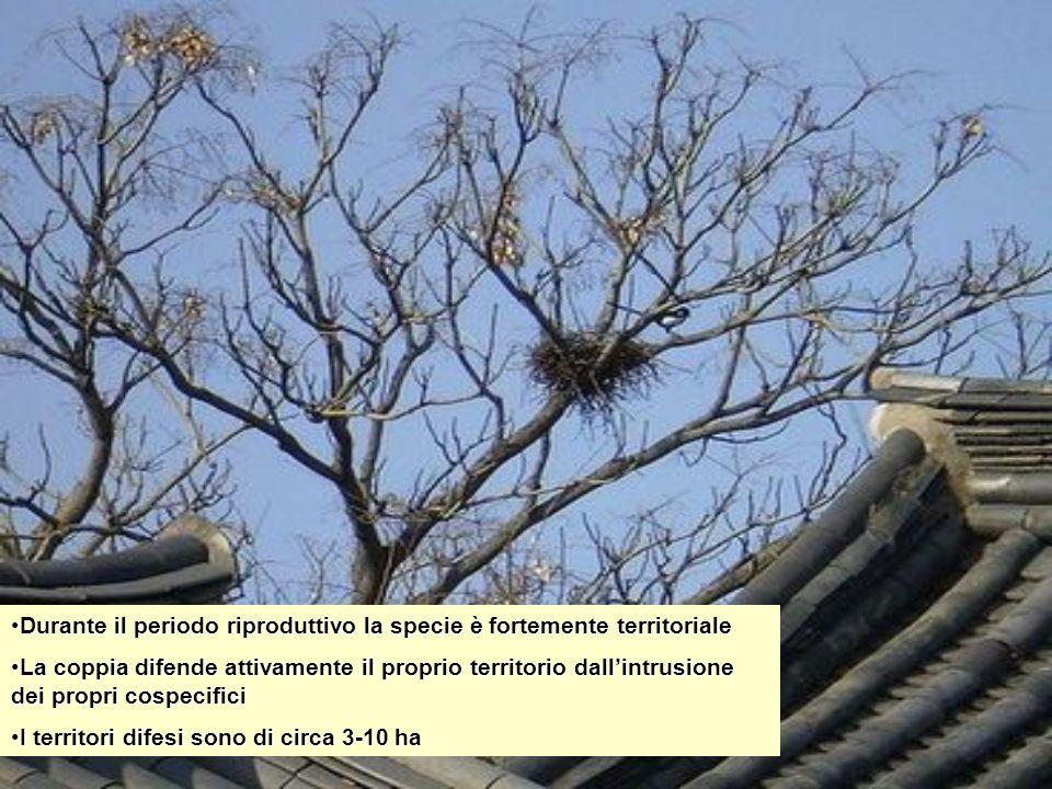 Durante il periodo riproduttivo la specie è fortemente territorialeDurante il periodo riproduttivo la specie è fortemente territoriale La coppia difen