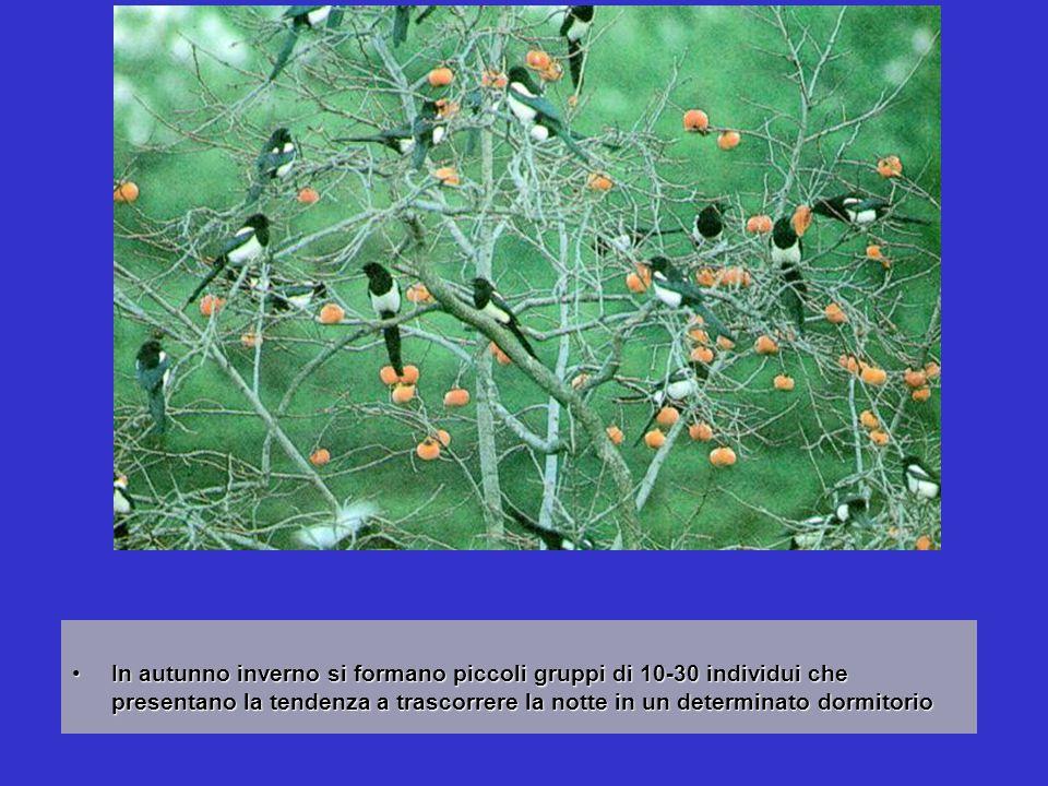 In autunno inverno si formano piccoli gruppi di 10-30 individui che presentano la tendenza a trascorrere la notte in un determinato dormitorioIn autun