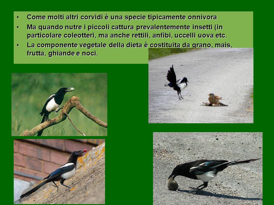 Come molti altri corvidi è una specie tipicamente onnivoraCome molti altri corvidi è una specie tipicamente onnivora Ma quando nutre i piccoli cattura