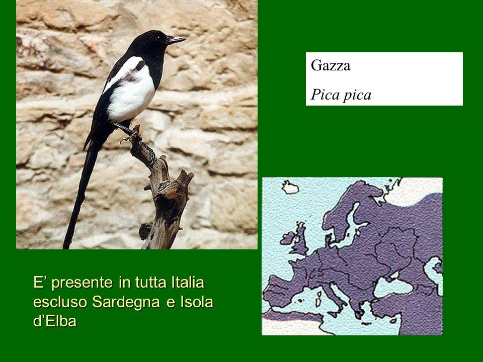 Gazza Pica pica E presente in tutta Italia escluso Sardegna e Isola dElba