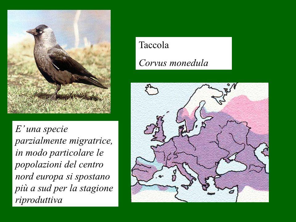 Taccola Corvus monedula E una specie parzialmente migratrice, in modo particolare le popolazioni del centro nord europa si spostano più a sud per la s