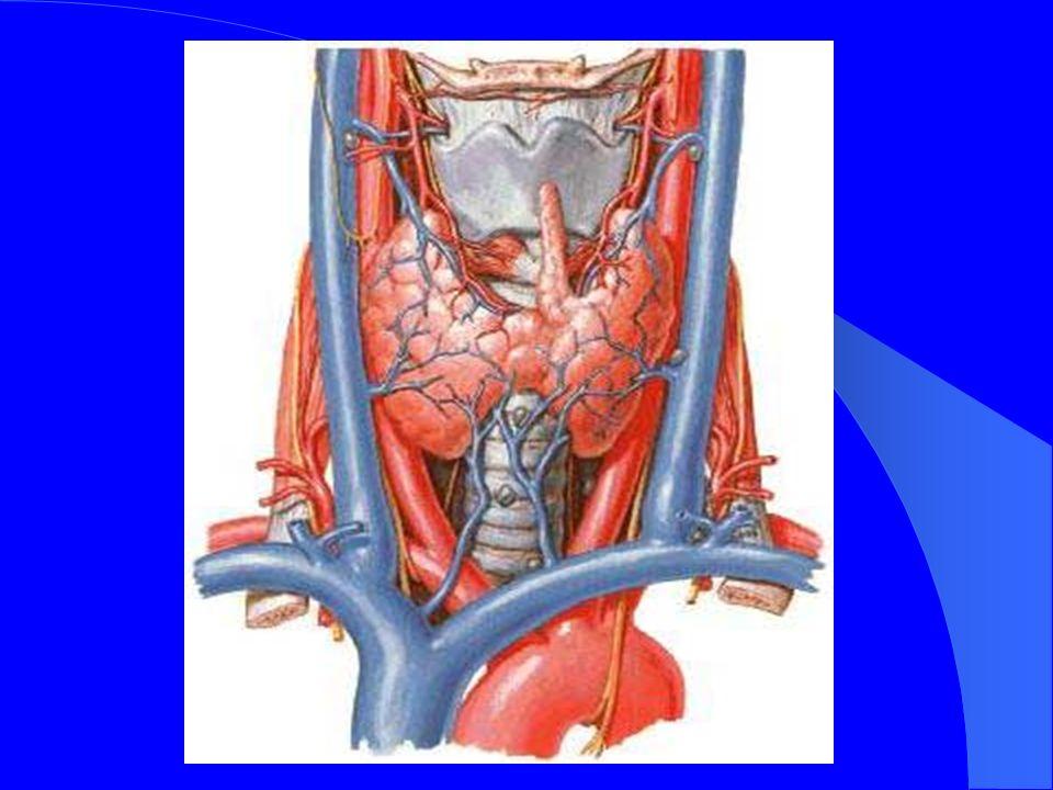 II-III settimana di vita embrionale Dal pavimento del faringe primitivo origina la porzione principale mediale dellabbozzo tiroideo Questo diverticolo segue il cuore primitivo nella sua migrazione verso il basso Lamina tireo-pericardica: presenza della vene tiroidee inferiori I corpi Ultimobranchiali danno origine agli abbozzi laterali della tiroide e contengono le cellule C parafollicolari, originate dalla cresta neurale