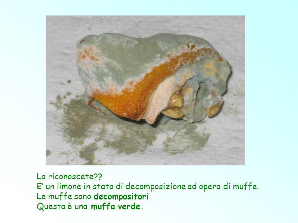 Lo riconoscete?? E un limone in stato di decomposizione ad opera di muffe. Le muffe sono decompositori Questa è una muffa verde.