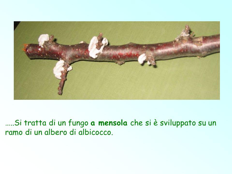 …..Si tratta di un fungo a mensola che si è sviluppato su un ramo di un albero di albicocco.