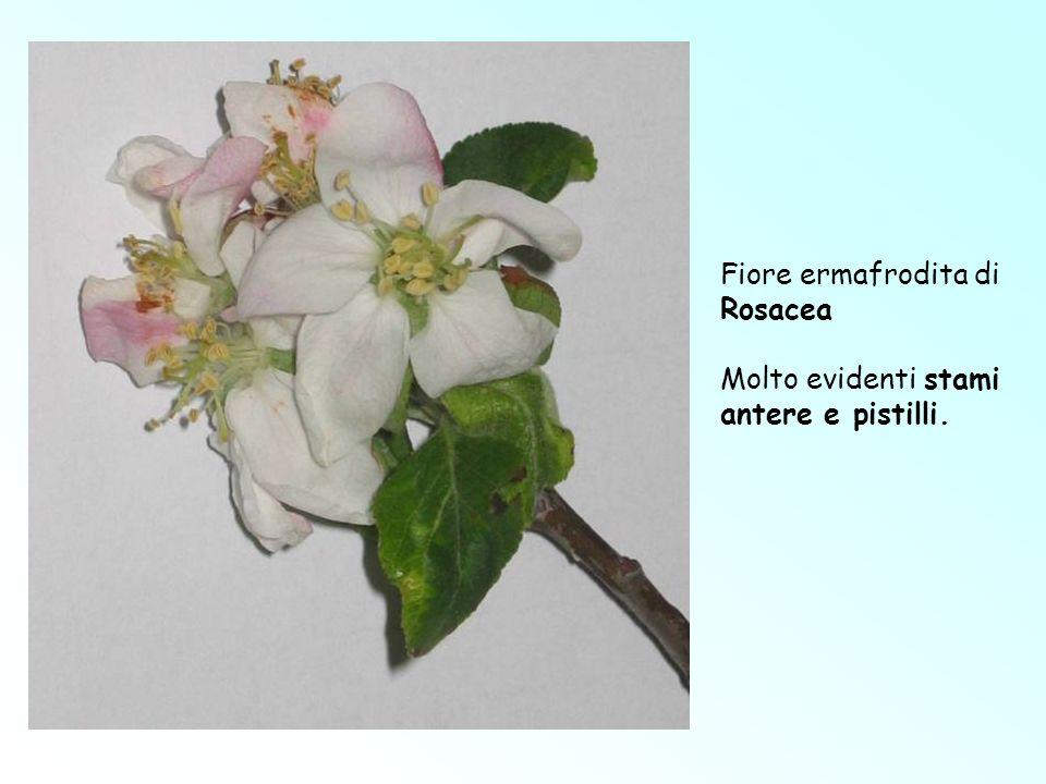 Fiore ermafrodita di Rosacea Molto evidenti stami antere e pistilli.
