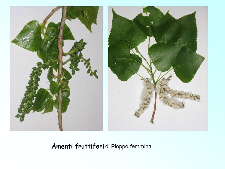 Amenti fruttiferi di Pioppo femmina