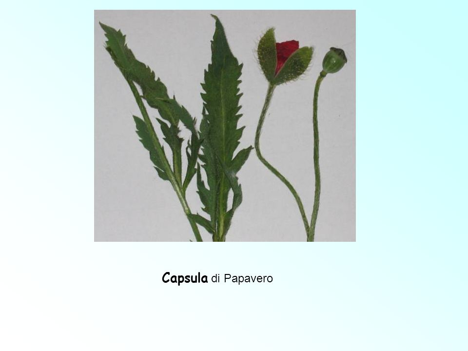 Capsula di Papavero